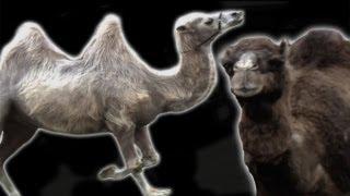 Epic Camel Riding FAIL - Slo Mo #18 - Earth Unplugged