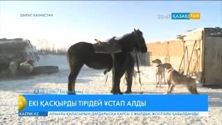 Шығысқазақстандық Қанат Мұқамадиев екі түз тағысын тірідей ұстап алған