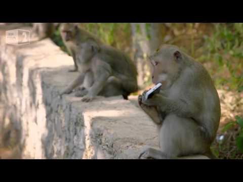 Que faire quand un singe vole un téléphone   Voici la solution !