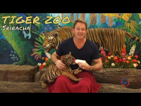 The amazing Sriracha Tiger Zoo just outside of Pattaya