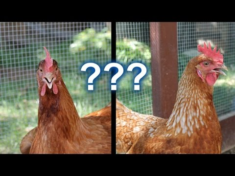 Backyard Chickens – Is it Really Worth it?