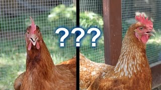 Backyard Chickens - Is it Really Worth it?