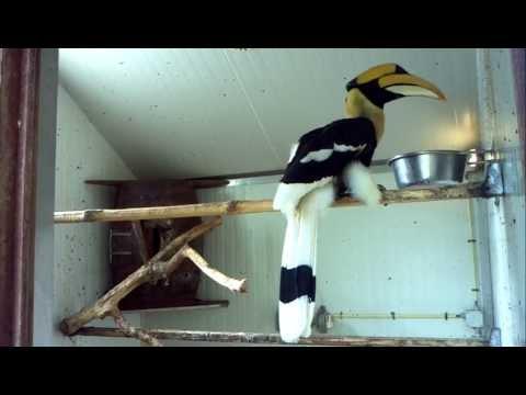 Great hornbill feeding at Vogelpark Avifauna (birdpark)