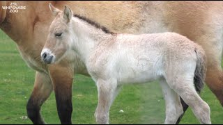 Meet our adorable new arrival - an endangered Przewalski's foal