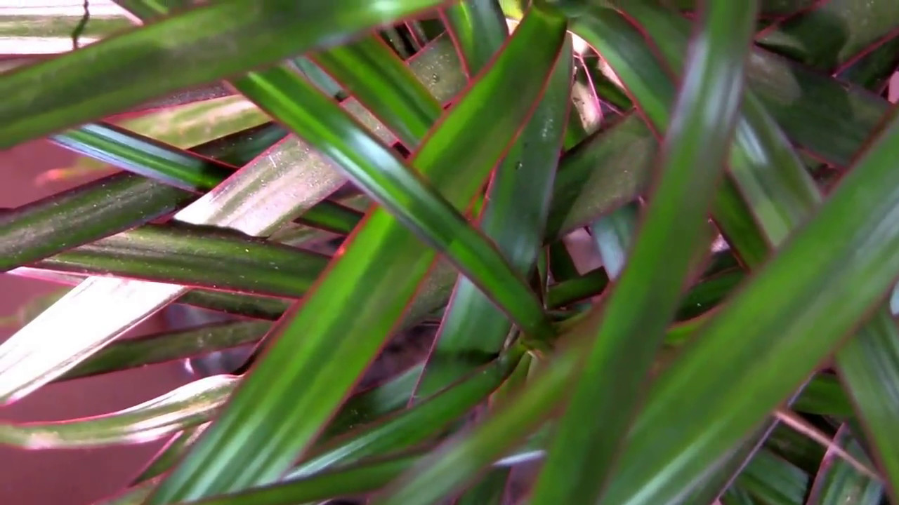Dragon Tree (Dracaena marginata) - a houseplant - YouTube on cornstalk plant, mass cane plant, artificial palm trees plant, tall marginata plant, marginata plant poisonous, marginata cane plant, shrimp plant, cigarette plant, pruning marginata plant, alocasia plant, fica plant, dracaena plant, identify palm plant, eucalyptus plant, gawe aspidistra plant, florida beauty plant, d. marginata plant, cactus tree plant, century tree plant,