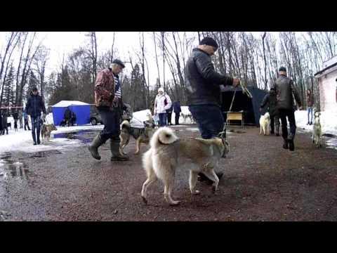 Уфимская городская выставка охотничьих собак  9 апреля 2017