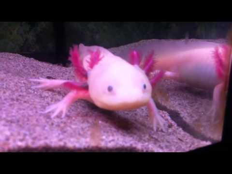 Pablo The Mexican Walking Fish On An Active Day