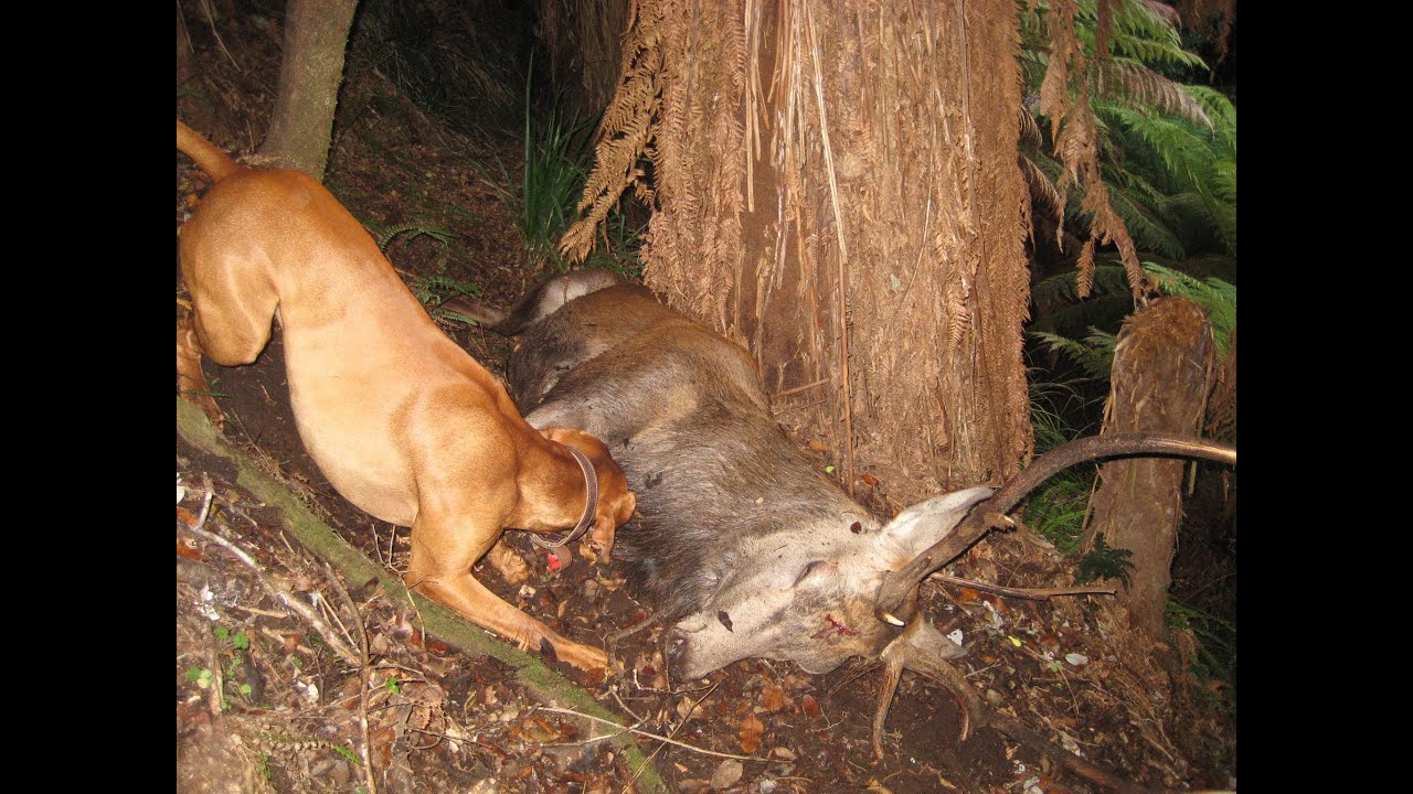 vizsla hunting dog - Spain Outfitters