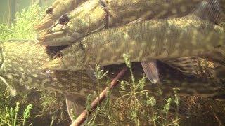 Pike spawning / нерест щуки / tarło szczupaka. Щука szczupak snoek muskie. Underwater stock footage..