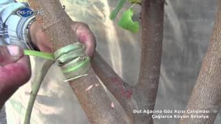 Dut Ağacına Göz Aşısı Çalışması Çağlarca Köyün Antalya