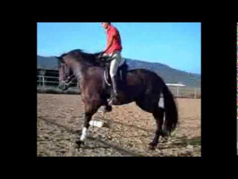 Altanero CXXX PRE stallion Travel Video