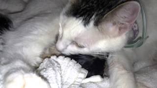 cat in labor (pinky) 2nd kitten panting, heavy breathing
