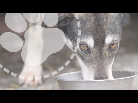 Mushing Explained: What do sled dogs eat?