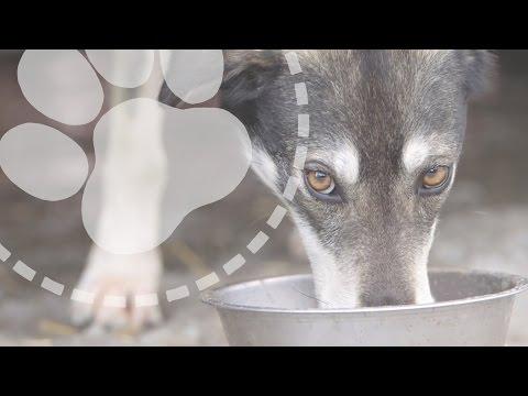 Mushing Explained: What do sled dogs eat?