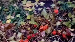 видео Физалис декоративный