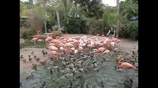 San Diego Zoo flamingo feeding