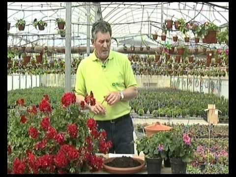 El jardinero en casa geranios y gitanillas youtube for Jardinero en casa