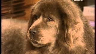 """Тибетский мастиф. """"Диалоги о животных"""" от 02.05.2009 года."""