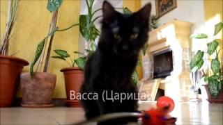 Помет 22 06 15 черные котята курильского бобтейла