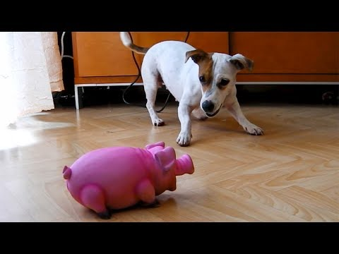 jack-russell-terrier-and-pig-toy