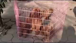 Оптовий і роздрібний продаж собак подл (іграшки, крихітні) оптова ціна супер - ЛГ: 0989288470