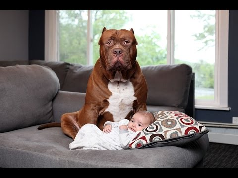 Dogs protecting Babies when Babies is in danger – Dog and Babies Are Best Friend