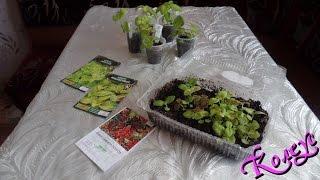 Колеусы из семян: посевы и мои наблюдения