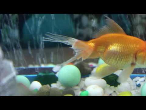 Fin Rots Of Ginny-long Tailed Goldfish