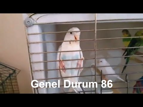 Muhabbet Kuşu Genel Durum #86