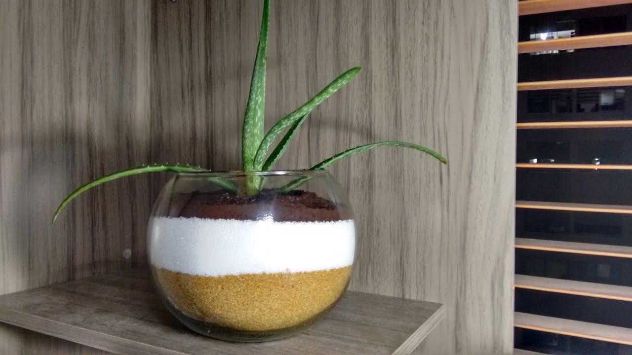 Como sembrar aloe vera en azucar youtube - Como cuidar la planta de aloe vera ...