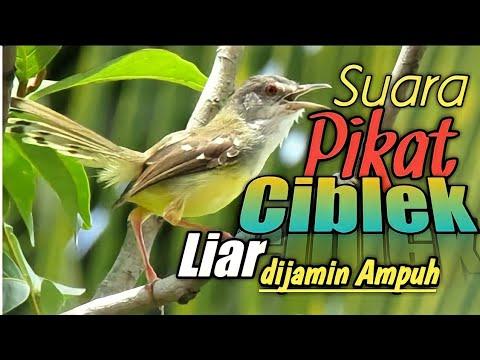 Download Lagu SUARA PIKAT CIBLEK LIAR....dijamin AMPUH