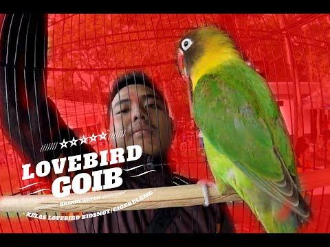 SUARA BURUNG : Bikin Ngiler ! Lovebird GOIB Milik Gibran Ngekek Terus Bawa Hadiah Jutaan