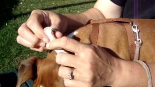 Boxer Ear Posting Pt. 2
