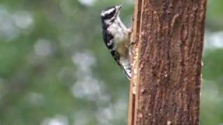 Downy Woodpecker Using Suet Sandwich