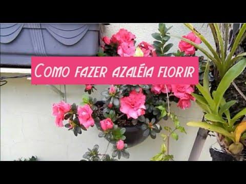 46424bbb4 APRENDA COMO FLORIR SUA AZALÉIA - YouTube