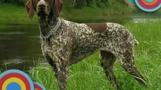Топ  5  охотничьих  пород  собак