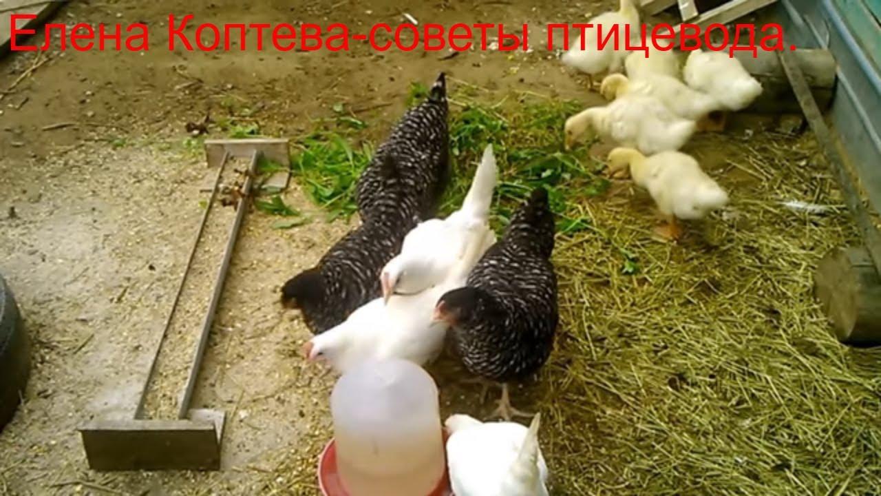 Цыплята кросса хайсекс выращивание видео