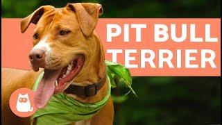 El perro pit bull terrier - Características y entrenamiento