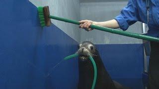 年納めで水族館の大掃除 アシカもお手伝い