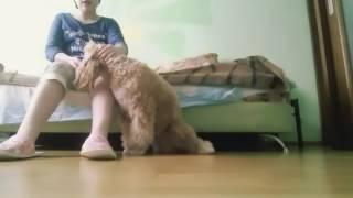 Дрессировка собаки. Пудель Поля