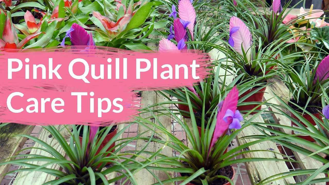 Pink Quill Plant Care Tips The Tillandsia With The Big Bloom Joy