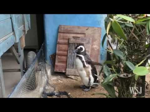 PERSAHABATAN PINGUIN DENGAN MANUSIA