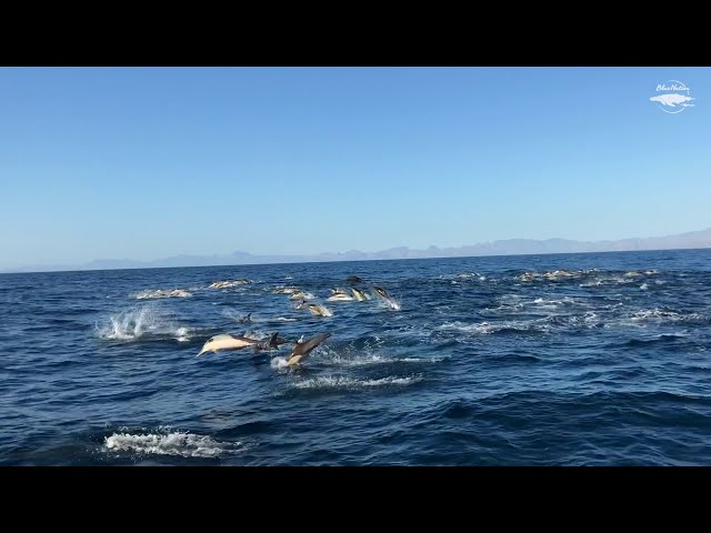 Common dolphins in Loreto, Mexico 🐬