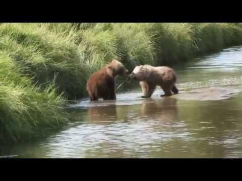 Brown Bear Cubs Fighting, Alaska