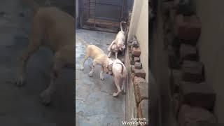 Пакистанский мастиф 4 мес щенкам
