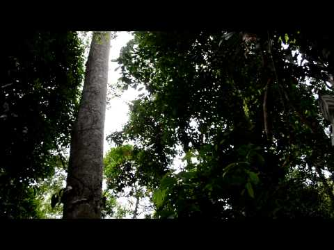 The call of gibbons in the jungle of north Borneo (Sabah 2011)