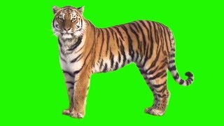 GREEN SCREEN TIGER - FULL HD ( DOWNLOAD LINK )