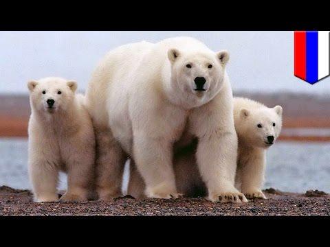 หมีขั้วโลกล้อม นักวิทยาศาสตร์ได้แต่ทำใจ
