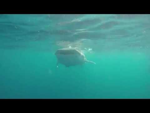 Qatar whale sharks