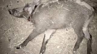 Охота на кабана, 2а за раз! Видео снято на цифровой ночной прицел ATN X-SIGHT 2 3-14x